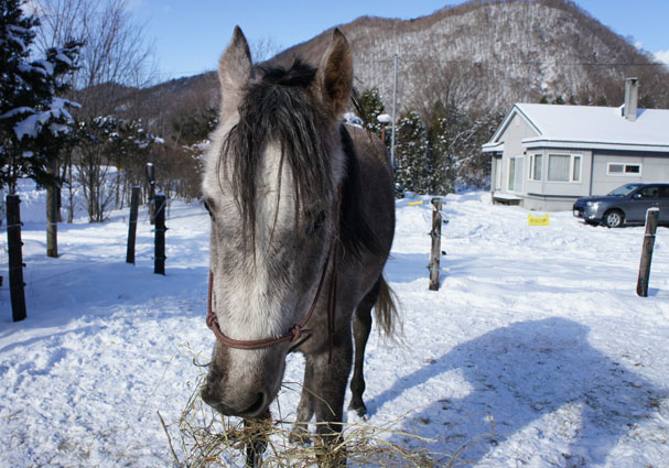 アラブ種 - Arabian horse